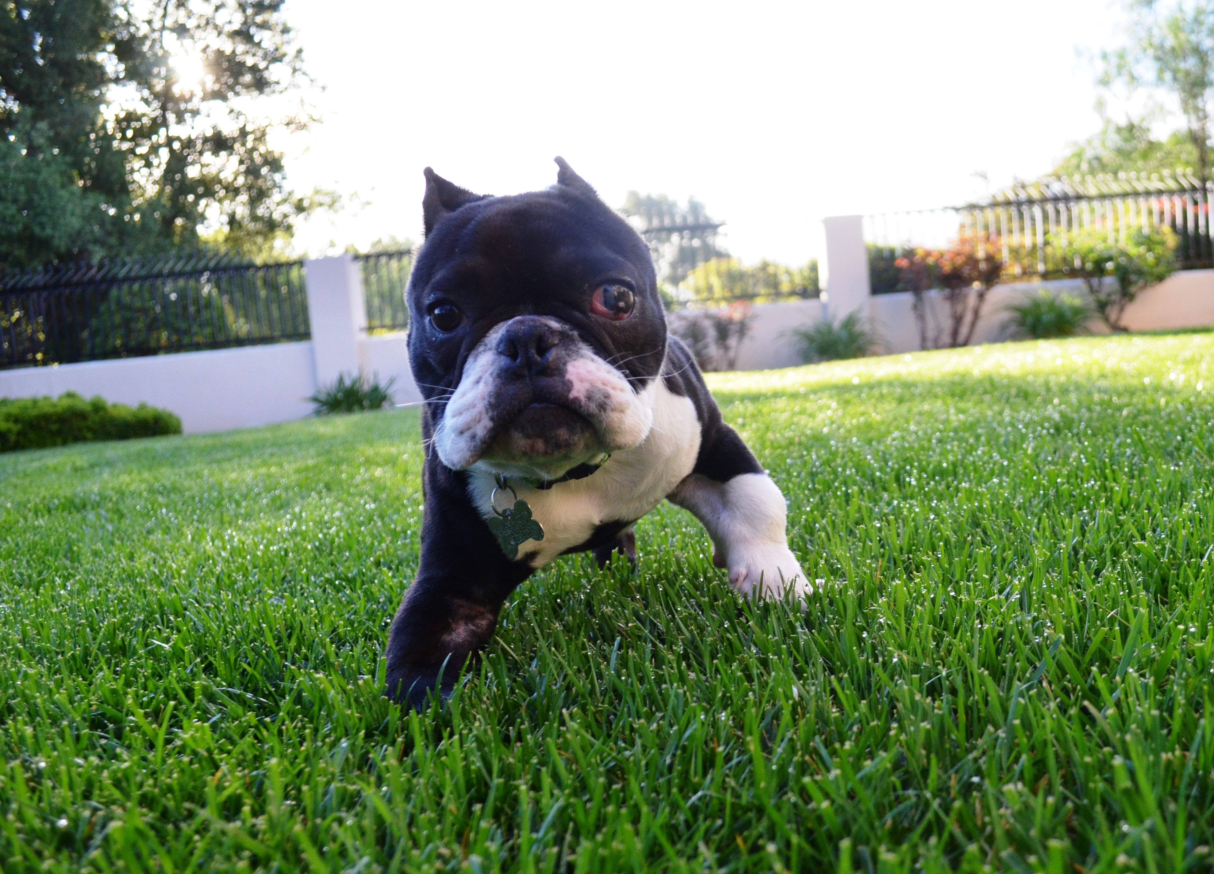 Hercules loves to spend time on the grass