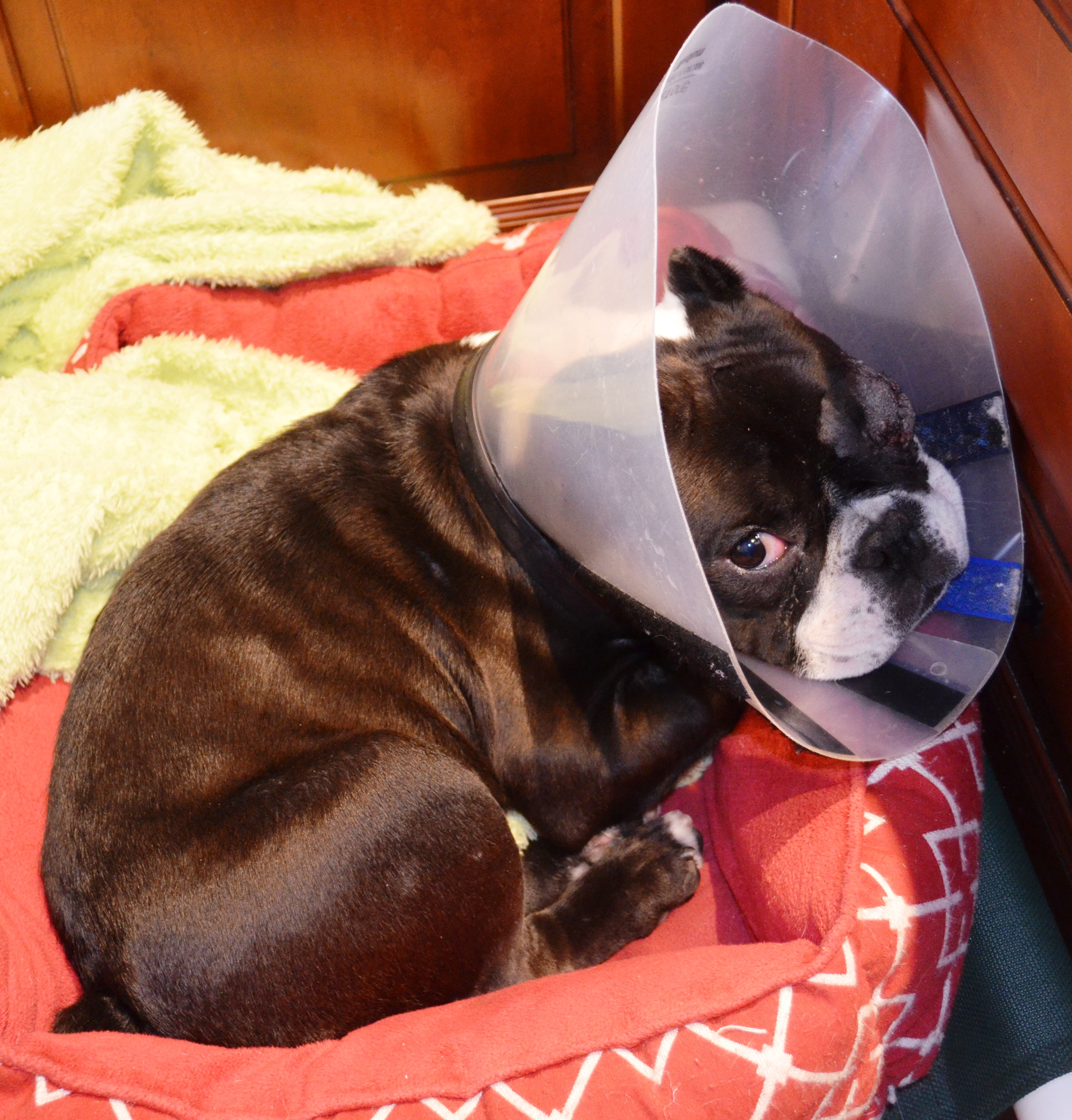 Hercules is trying his best to stay quiet and let his eye heal.  He can hardly wait to get the all clear to play and not have to wear the cone anymore!